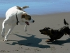 dogs-playing-on-the-beach1
